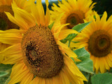 Sunflowers 2 by LynEve, Photography->Macro gallery