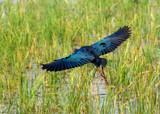 Waterhen Flying by jeenie11, photography->birds gallery