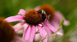 Echinacea With A Visitor by tigger3, photography->flowers gallery