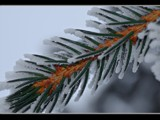 Pine Branch by MiLo_Anderson, Photography->Macro gallery