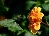 Bzzzzzzzzzzzzzzz-ing by tigger3, photography->action or motion gallery