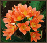 CLIVIA  MINIATA by SusanVenter, Photography->Flowers gallery