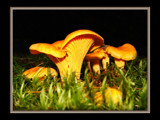 Yellow chantarelle by Junglegeorge, Photography->Mushrooms gallery