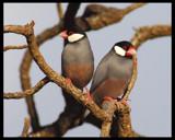 Java Finch by garrettparkinson, photography->birds gallery