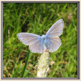 The Common blue by wimida, Photography->Butterflies gallery