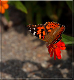Garden Delight_A Friend of the Garden by tigger3, photography->butterflies gallery