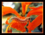 Orangepillar 2 by dmk, Photography->Macro gallery