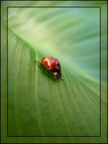 Strolling Down The Leaf by jesouris, Photography->Insects/Spiders gallery