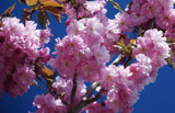 cherry blossom special by solita17, Photography->Flowers gallery