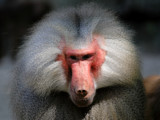 Boss Baboon by Paul_Gerritsen, Photography->Animals gallery