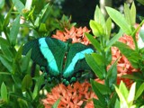 Green Banded Peacock Butterfly by mimi, Photography->Butterflies gallery