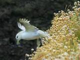 Fulmar2 by pom1, Photography->Birds gallery
