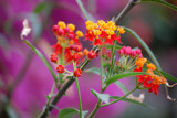 Asclepias Curassavica or Milkweed by Toto_san, Photography->Flowers gallery