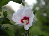 Rose of Sharon by louis22, Photography->Flowers gallery