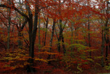the color of beech trees by solita17, Photography->Landscape gallery