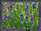 Lavender for Les (purmusic) by LynEve, Photography->Nature gallery