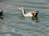 Duck by rvdb, photography->birds gallery