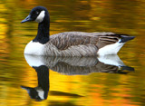 Autumn Goose by legster69, Photography->Birds gallery