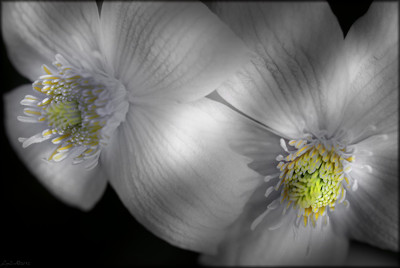 Clematis hiding in the shadows by LynEve, photography->flowers gallery
