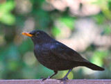 Blackbird by braces, Photography->Birds gallery