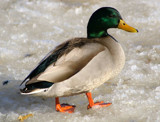 Duck on the Ice by woodsy, Photography->Birds gallery