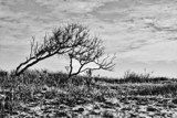 Bent Trees by Jimbobedsel, contests->b/w challenge gallery