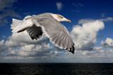 Seagul by Paul_Gerritsen, Photography->Birds gallery
