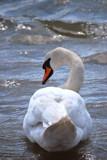 Swan In Choppy Waters by braces, photography->birds gallery