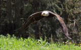 Bald Eagle on the hunt by Paul_Gerritsen, photography->birds gallery