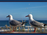 Seagull Pair by LynEve, Photography->Birds gallery