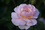 Rose and Sunshine by Ramad, photography->flowers gallery