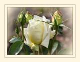 Cinque boccioli by LynEve, Photography->Flowers gallery