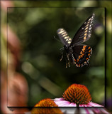 The Eastern Black Swallowtail by tigger3, photography->butterflies gallery