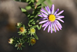 Killdeer's Silky Aster by Nikoneer, photography->flowers gallery