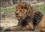 Caturday_The Regal Lion by tigger3, photography->animals gallery