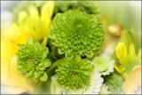 Green Chrysanthemums by LynEve, photography->flowers gallery