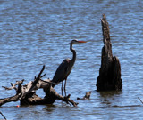 Heron by Pistos, photography->birds gallery