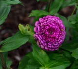 Friday's Post-The Zinnia by tigger3, photography->flowers gallery