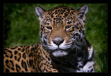 Jag by JQ, Photography->Animals gallery