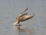 Landing by pom1, Photography->Birds gallery