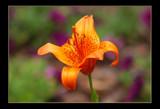 Orange Tart by tigger3, Photography->Flowers gallery