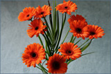 Gerberas by Ramad, photography->flowers gallery
