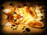 Phoebe the Bengal Kitten by June, photography->pets gallery