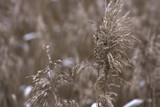 A reed's flower in winter by Mauntnbeika, Photography->Nature gallery