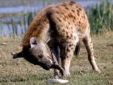 bone crusher by jeenie11, Photography->Animals gallery