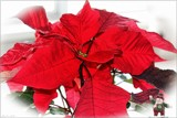 Christmas on my windowsill by LynEve, photography->flowers gallery