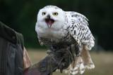 Snowy owl by krt, photography->birds gallery