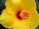 Hibiscus Macro by June, Photography->Flowers gallery