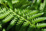 Garden Fern - Dark by Shewolfe, photography->nature gallery