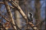 Downy Woodpecker by Jimbobedsel, photography->birds gallery